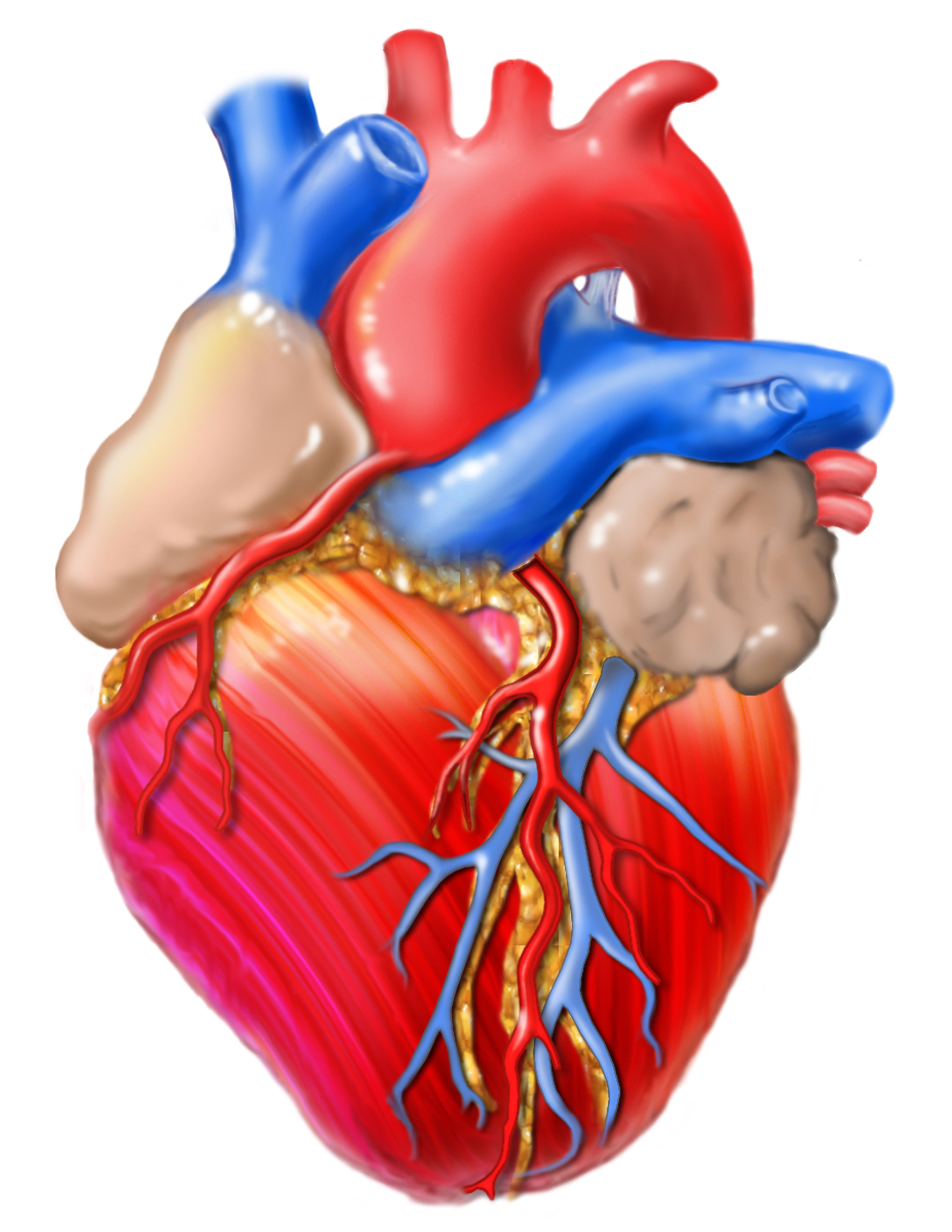 Graphic illustration of a human heart